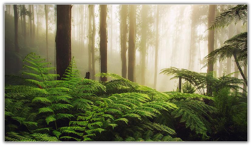 Morning Mist - Fernshaw, Victoria